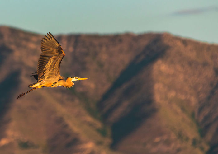 A Great Blue Heron soars through the sky at the Bear River Migratory Bird Refuge in Northern Utah. Animal Themes Animal Wildlife Beauty In Nature Bird Bird Refuge Flying Flying Bird Focus On Foreground Great Blue Heron Mid-air Mountain No People Outdoors Spread Wings
