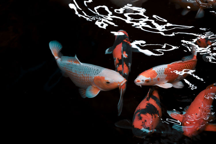 // something fishy is going on // Animal Animal Themes Animal Wildlife Animals In The Wild Black Background Carp Fish Group Of Animals Koi Carp Large Group Of Animals Marine Nature No People School Of Fish Sea Sea Life Swimming UnderSea Underwater Vertebrate Water