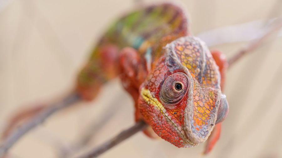 vertebrate