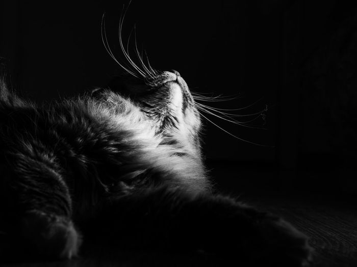 BnW Cat, Darkness, abstract Whisker Close-up Black Background Indoors  No People Domestic Cat Domestic Animals Feline Domestic Pets Vertebrate Cat Mammal Animal Animal Themes One Animal Relaxation Indoors  Sleeping Hair Resting Animal Body Part