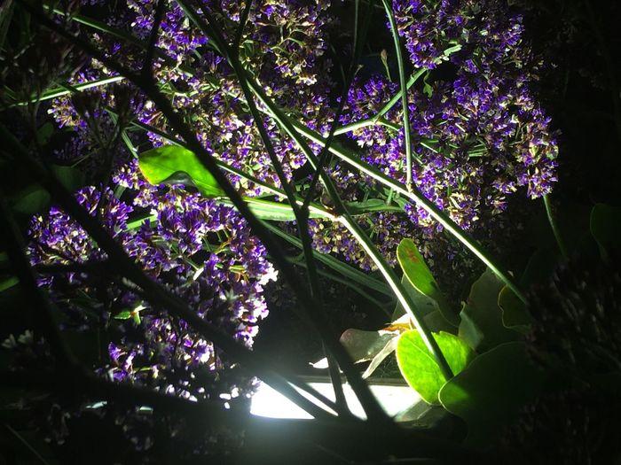 Purple flower Beauty In Nature Purple Flower Blossom Purple Light Night Pictire Flower Fragility Ntsudzu Jozi Low Angle View South Africa 🇿🇦 City Lodge Beauty In Nature Light And Flowers