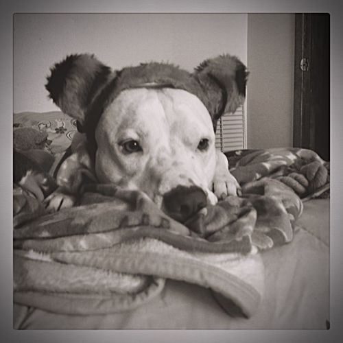 The Girls got ahold of my poor boy Pitbull One Animal Pets Auto Post Production Filter Dog Relaxation Indoors  Mammal Portrait Looking At Camera Close-up Home Interior Vignette Resting Comfortable Selective Focus Focus On Foreground At Home Laziness