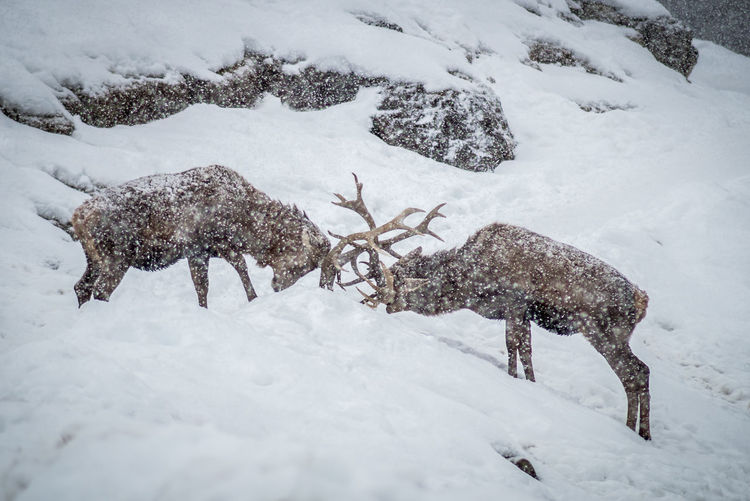 View of deer on snow covered field