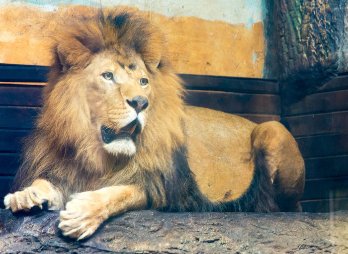 Lion relaxing in a zoo