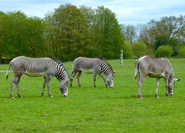 Zebras Whipsnade Zoo Striped Zebra Grass Animal Themes Animals In The Wild Green Color Animal Wildlife Mammal Tree Day Outdoors Nature Field Grazing No People Animal Markings Growth Beauty In Nature Sky