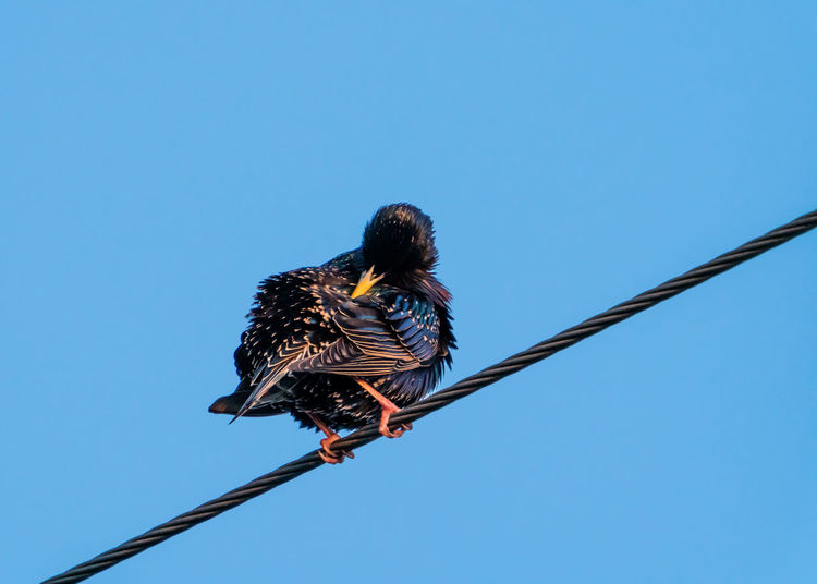 Starling perching on power line