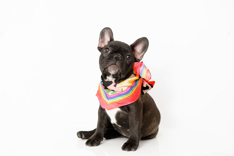 Frenchbulldog Frenchie Pet Pets Cute Portrait Ear French Bulldog Bulldog Purebred Dog Dog Domestic Animals Canine Pampered Pets Pet Equipment