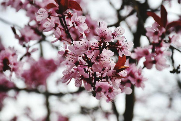Showcase April Wonderful Springtime Pink Flower