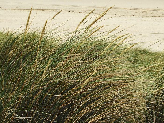 Sand Reeds Beach Crantock Windy EyeEm Nature Lover Nature_collection Naturelovers Beautiful Nature Popular Photos Popular