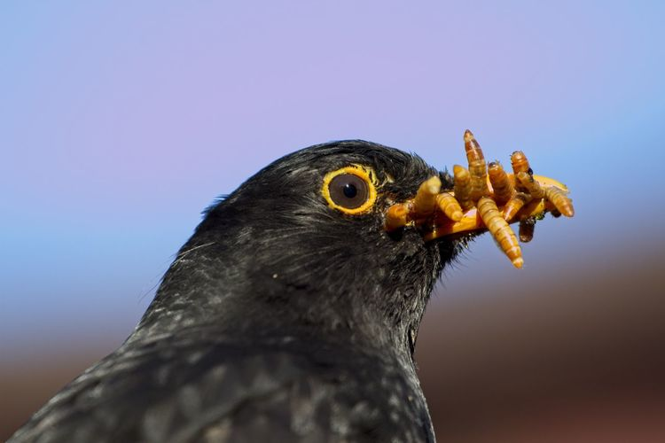 Close-up of bird with insects in mouth against the sky
