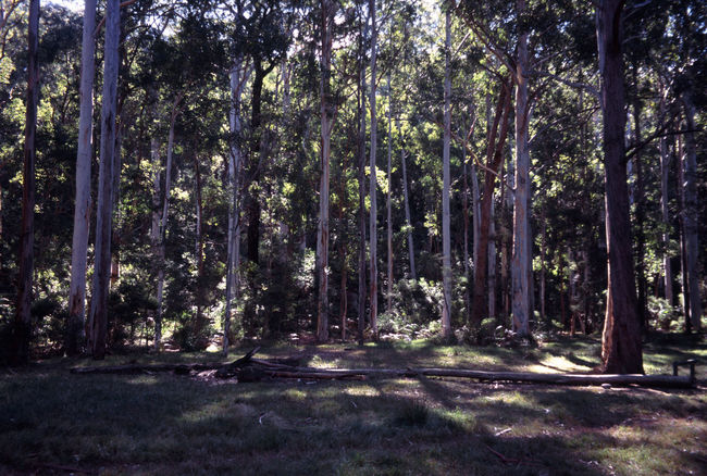 the blue gum forest, blue mountains national park Australia Blue Gum Forest Camp Ground Forest Green Gum Tree Gums Outdoors Plant Plants Tall Tree Tree Trunk Trees Wood Woods