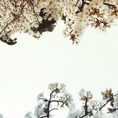 桜 Japan Cherry Blossoms Spring
