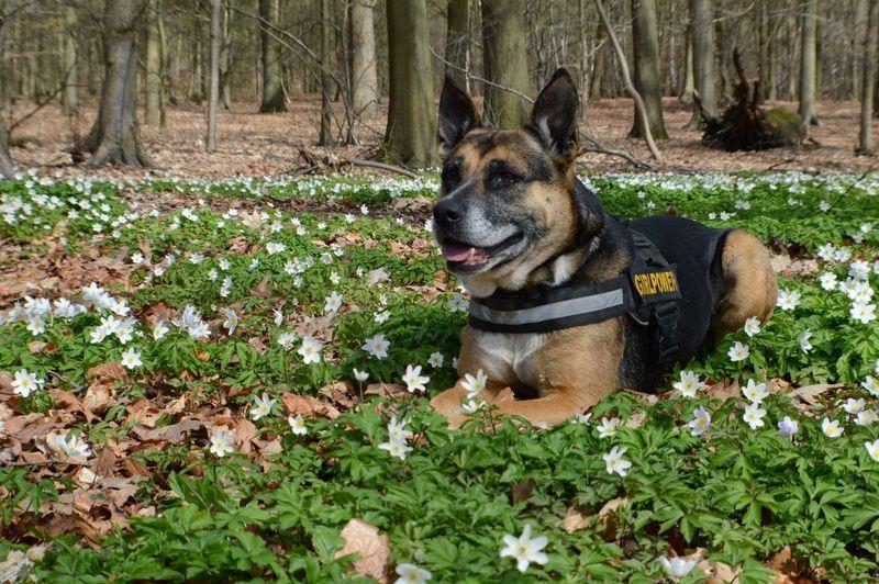Juliusk9 Germanshepherd x American Bulldog BOS Herdershond Kruising Flowers Bloemen