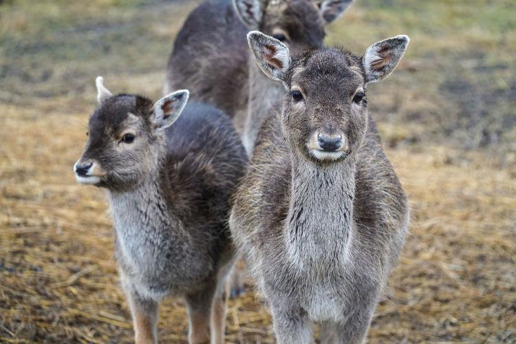 Roe Deers Standing On Field