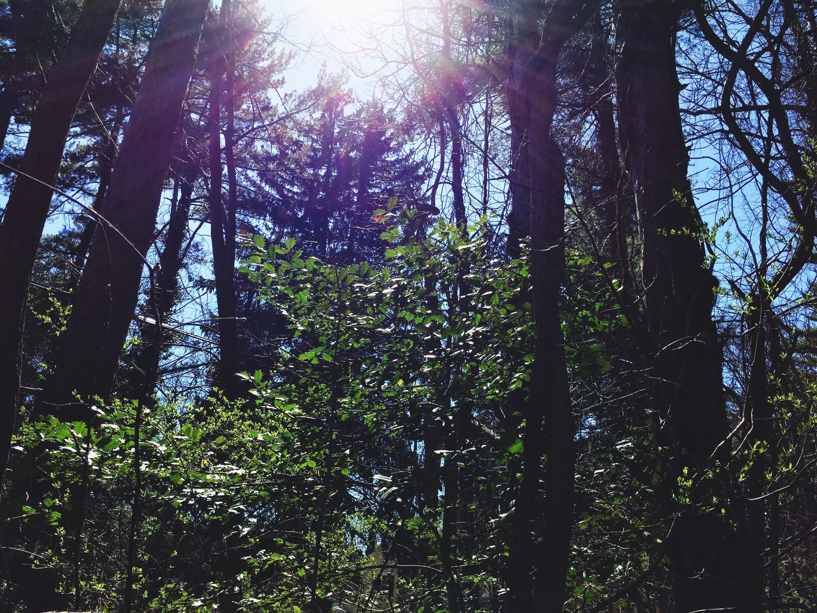 tree, growth, tree trunk, tranquility, sunlight, branch, nature, forest, sun, low angle view, green color, beauty in nature, sunbeam, tranquil scene, woodland, lens flare, day, outdoors, scenics, no people