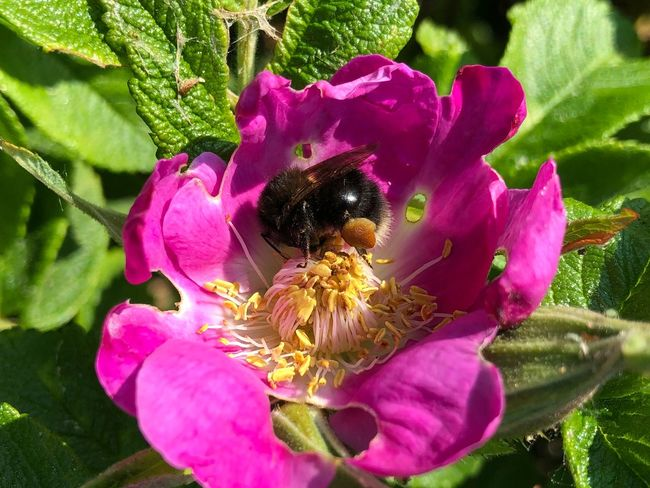 Bumblebee Prerow IPhone X IPhone X Photography Flower Flowering Plant Plant Petal Fragility Vulnerability  Flower Head Growth Beauty In Nature Freshness Close-up Inflorescence Pink Color Invertebrate Nature Insect Animals In The Wild Animal Wildlife Animal Bee