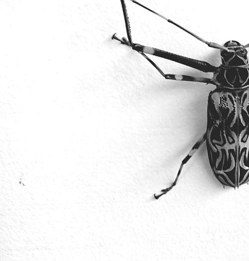 Monochrome Photography Nature Bug Amazone