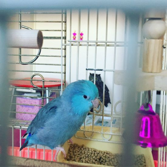 Bird Birds Bird Photography Vogel Pacificparrotlet Parrot Owl Eule Hornedowl  Papagei Spottedeagleowl YOMO Papico Blue Cage Love Family Animal Themes Close-up Pink Color At Home MyRoom Myhome Meinzimmer Eating