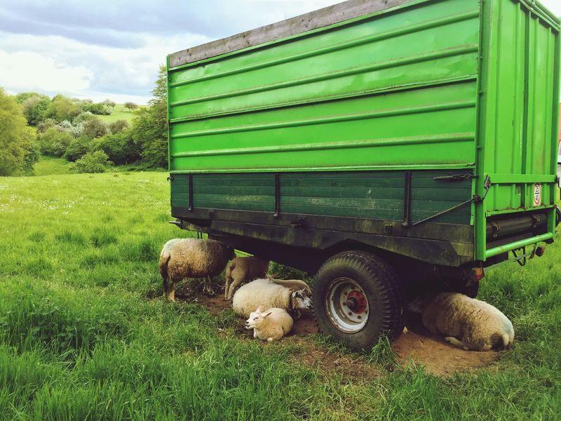 Sheeps Sheeps. Sheep Sheep🐑 Sheepworld Schafe Schaf  Iphonegraphy Hobbyphotography Hobbyfotograf Moutons Mouton Animals🐾 Animals Tiere Tiere♡ Tiere/Animals Animaux Animaux ❤️ Auf Dem Dorf In The Village Green Grün Vert Landleben