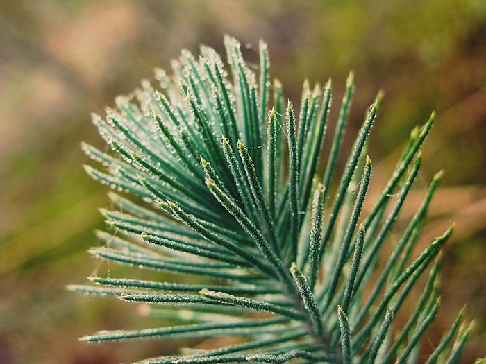 Close-up of pine needles during winter