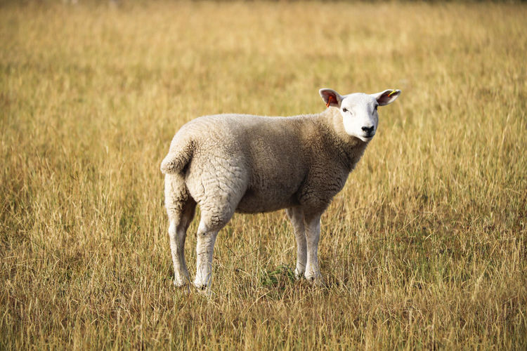 Sheep standing in a field. Lamb Animal Animal Themes Day Domestic Domestic Animals Field Grass Herbivorous Lamb Lambs Land Livestock Mammal Nature No People One Animal Pets Plant Sheep Standing Vertebrate Young Animal