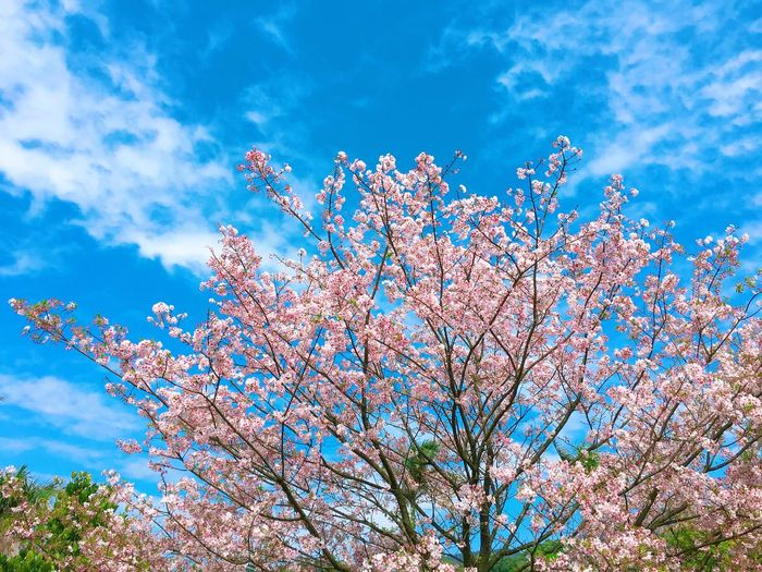 Cherry Blossoms 櫻花 City Taiwan 淡水 台灣 Sky Low Angle View Cloud - Sky Plant Beauty In Nature Nature No People Tree Blue Day Growth Flower Sunlight Flowering Plant