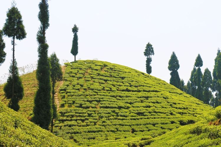 Tea Crop Agriculture Tree Hill Environmental Conservation Field Nature Pattern Green Color Growth Forest Social Issues Hills, Mountains, Sky, Clouds, Sun, River, Limpid, Blue, Earth The Week On EyeEm The Great Outdoors - 2017 EyeEm Awards Landscape Rural Scene Land Sky Beauty In Nature Pain Tree Tea Tourism tourism Plant Cloud - Sky