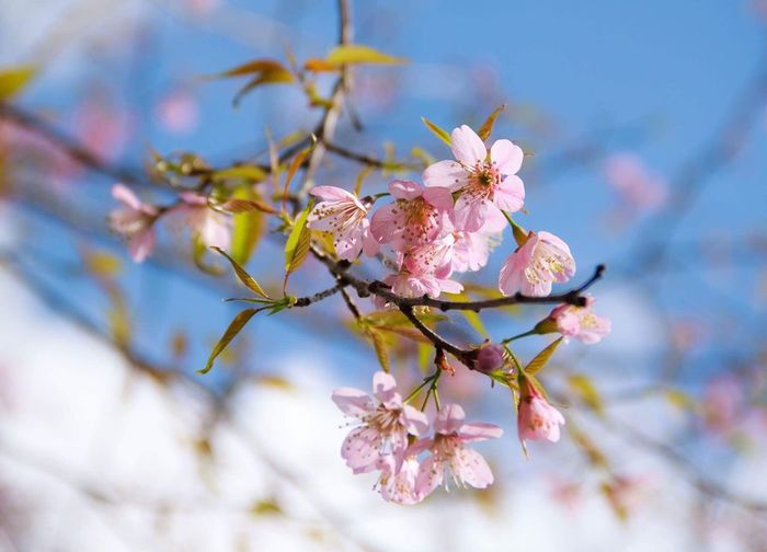 Thai sakura Flower Fragility Beauty In Nature Growth Blossom Branch Springtime Petal Nature Freshness Apple Blossom Pink Color Tree Botany Flower Head No People Orchard Close-up Day Twig