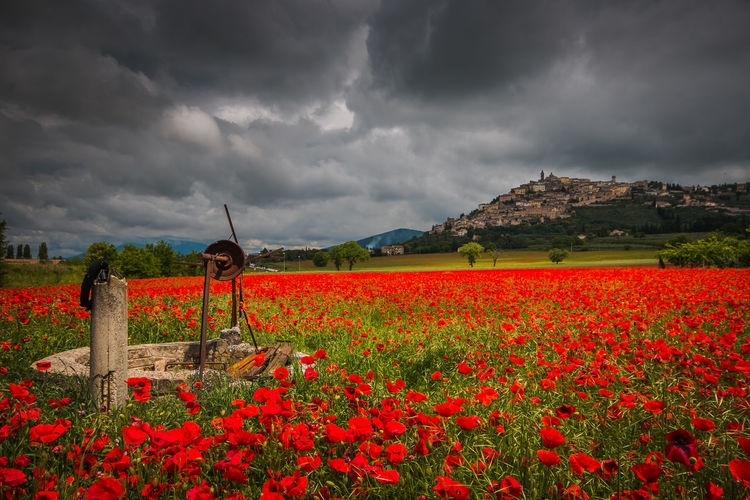 Dark storm and clouds over Trevi medieval village and red field of poppies in Umbria Trevi Umbria Poppy Poppy Flowers Poppies Field Poppies  Flowers Flowering Plant Flowering Medieval Dark Darkness Clouds Cloudscape Rural Scene Agriculture Rural Italy Europe Travel Destinations Travel Landmark Landscape Red Poppy Water Well Rainy Days Storm Storm Cloud Stormy Weather Springtime Spring Flowers Amazing Wonderful Romantic Passion EyeEm Best Shots EyeEm Nature Lover EyeEm Selects EyeEm Gallery Grey Cityscape Olive Tree Paradise Idyllic Touristic Grass Meadow Meadow Flowers Panorama Cloud - Sky Beauty In Nature Sky Flower Plant Nature Growth Scenics - Nature Freshness Vulnerability  Fragility Field Overcast No People Land Environment