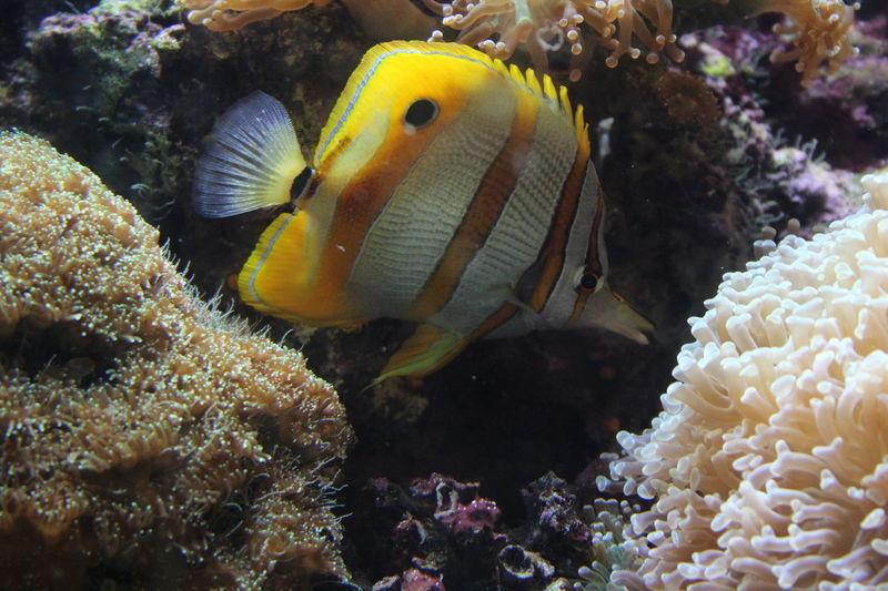 Copperband Butterflyfish Animal Themes Animals In The Wild Beauty In Nature Butterflyfish Close-up Copperband Coral Day Fish Nature No People Ocean Ocean Life One Animal Outdoors Saltwater Sea Sea Life Striped Stripes Pattern UnderSea Underwater White Yellow