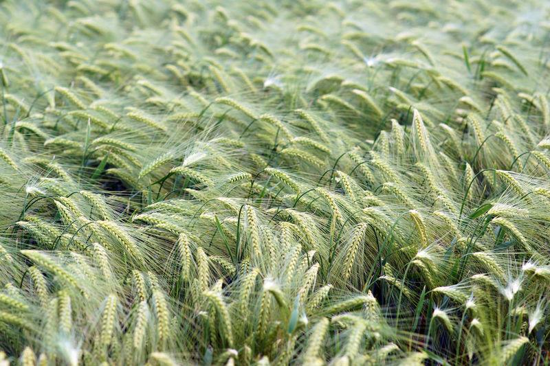 Grain rye plants on field farming agriculture corn