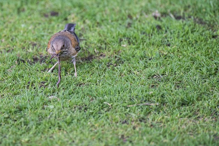 A bird holds an earthworm in a garden in the center of the city. Animals In The Wild Grass Nature Animal Animal Themes Bird Close Up Day No People One Animal Outdoors Perching Vertebrate