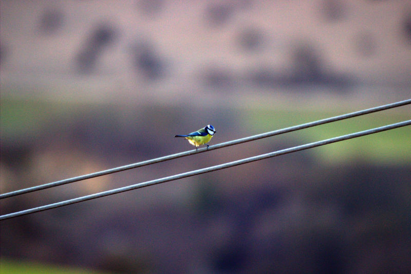 Blue tit perching on power cable