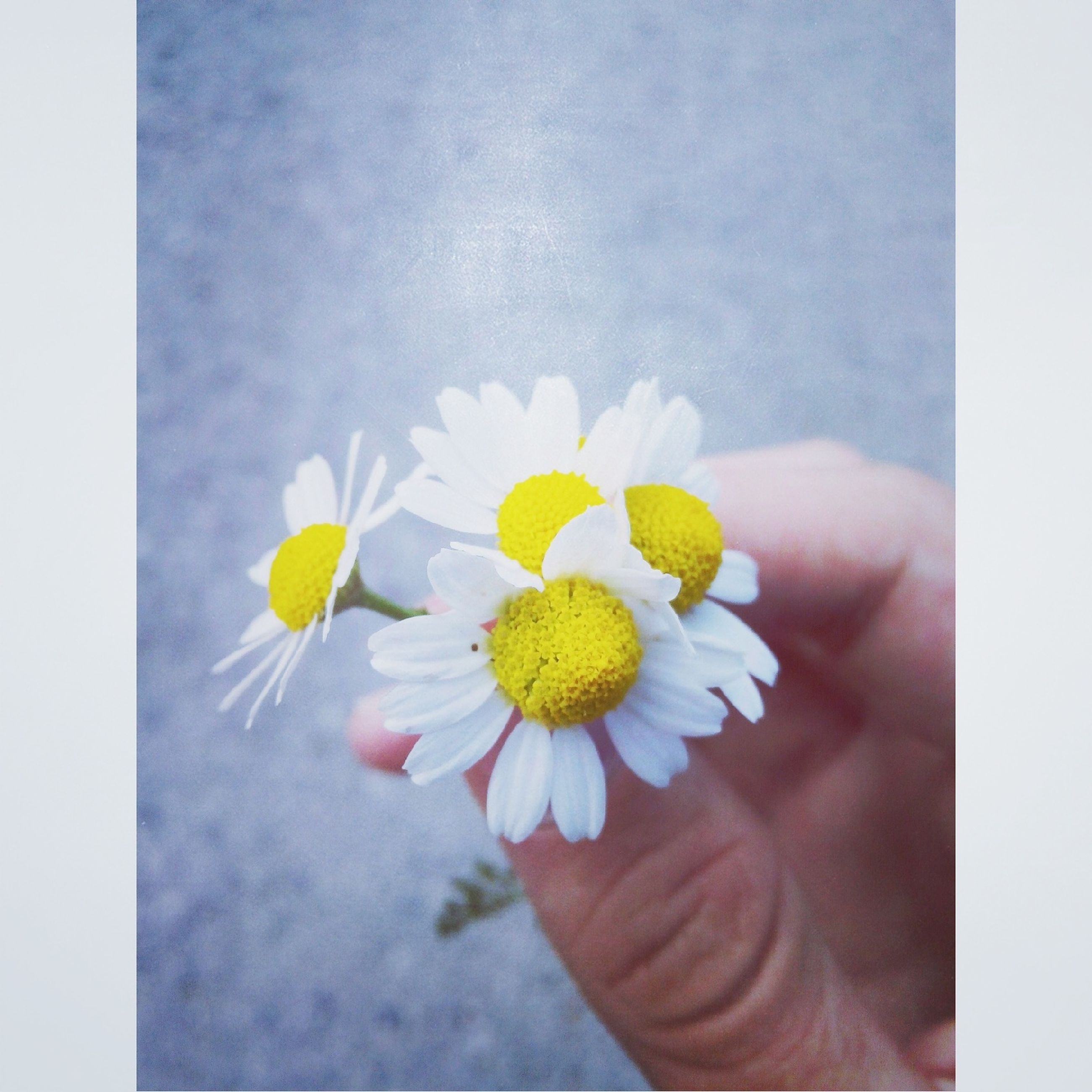 flower, petal, person, fragility, freshness, flower head, holding, yellow, transfer print, white color, part of, auto post production filter, close-up, daisy, cropped, pollen, single flower