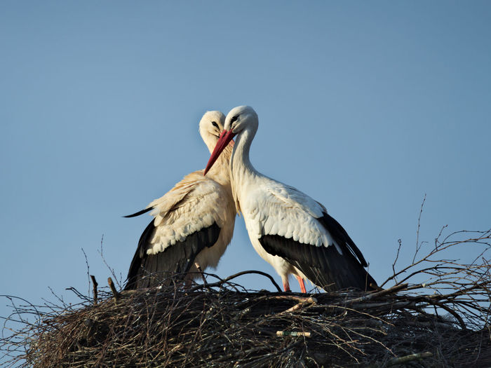 Stork Love BirdLovers Canon700D Couple Love Sigma White Stork Wildlife & Nature Wildlife Photography Animal Animal Family Animal Nest Animal Themes Animal Wildlife Animals In The Wild Bird Birdlove Canon Nature Outdoors Sigma 150-600c Spring Fever Springtime Stork Wildlife
