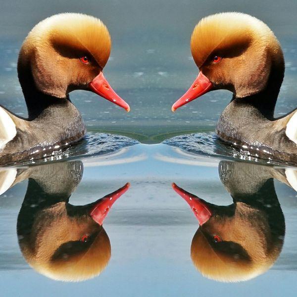 Giochi Di Specchi Specchio Fistione Turco Uccelli Uccello Birds Anatre Lago Di Garlate,italy Lago Di Como Lake Water
