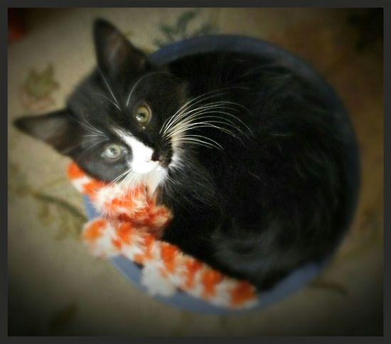 beautiful tuxedo kitty... ❤💜❤💜🐾🐾 Cheese! Hi! Hello World Check This Out Catsoftheworld Hi Catsofeyeem Catstarcat Hayward, Ca. Gingercatsofinstagram Pawsome Paws And Purrs Animals Fluffy Catlovers ❤️🔥❤️ Loveallanimals Animal Photography Beautiful Creatures Tuxedokitty