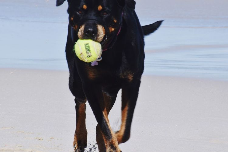 Portrait of black dog with ball on beach