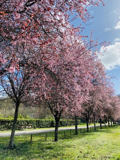 View of cherry blossom tree in park