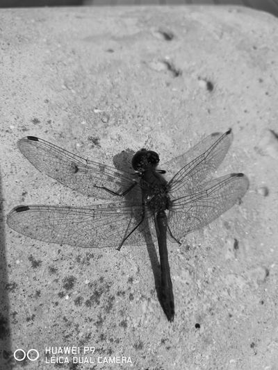 Dragonfly Animals Beautiful Makro Photography One Animal No People Black & White Animal Themes
