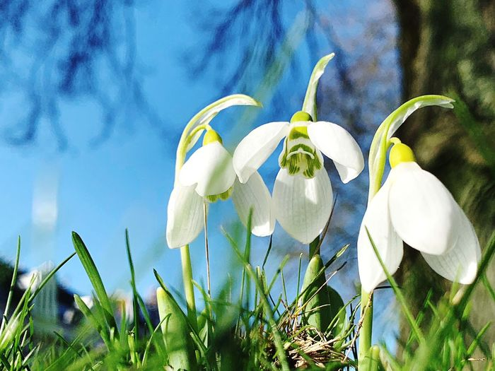Plant Flowering Plant Flower Growth Fragility Vulnerability  Beauty In Nature Petal Nature Freshness Snowdrop Inflorescence Close-up Flower Head Day Field White Color No People Land Green Color Outdoors Springtime