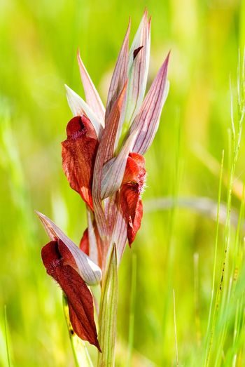 Close-up of  wild orchid serapia