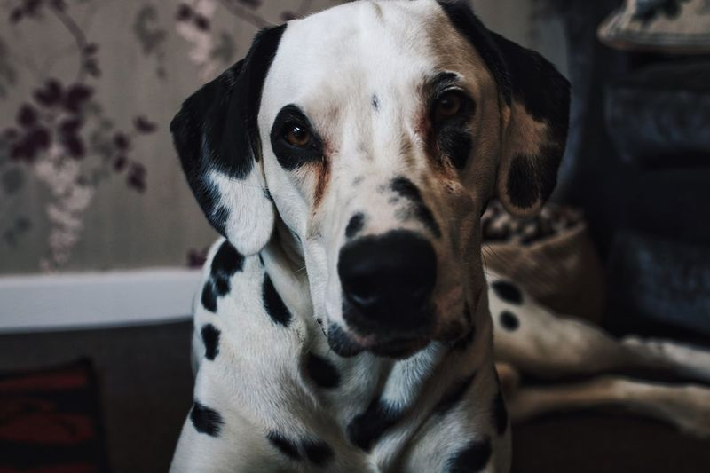 Close-Up Portrait Of Dalmatian Dog Relaxing At Home