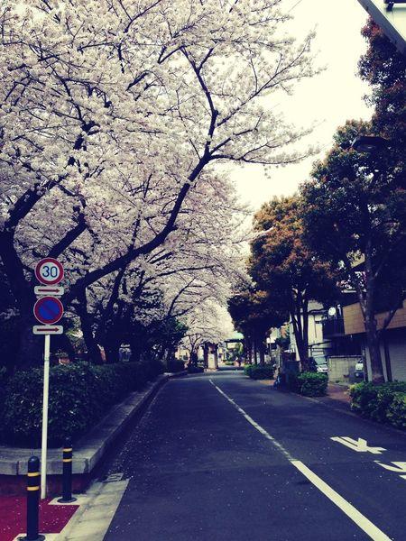 桜並木めっちゃ綺麗