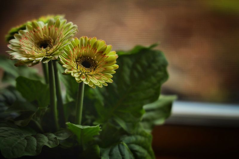 Gerbera Gerbera Daisy Flower Flowering Plant Freshness Vulnerability  Fragility Plant Focus On Foreground Flower Head Close-up Growth Petal Beauty In Nature Yellow No People Nature Day Outdoors