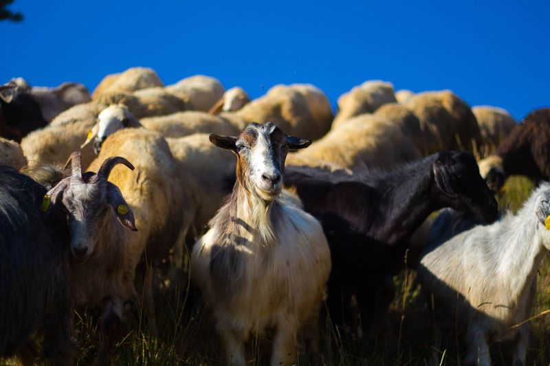 Goats against clear blue sky