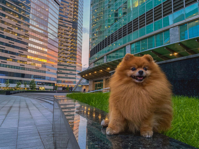 Portrait of dog against buildings in city