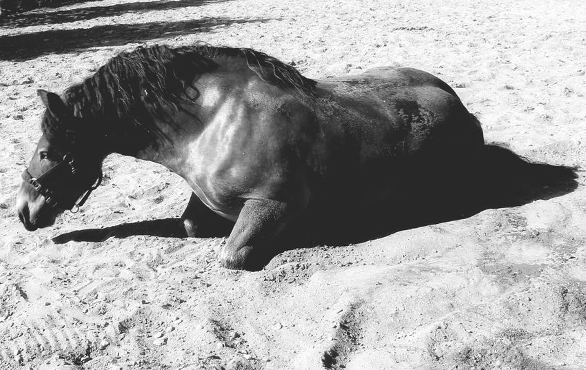 Horse Photography  Draft Horses Renish German Coldblood EyeEm Selects Sand Beach Shadow Sunlight