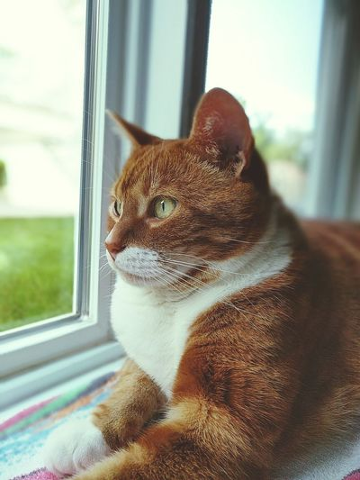 Close-up of ginger cat sitting on window sill