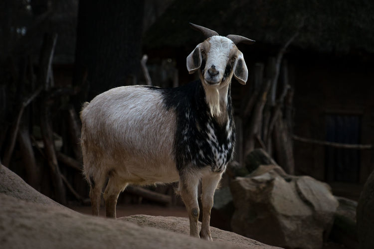 Portrait of sheep standing on rock